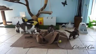 Download Kitten Cam- Maine Coons Test 'The Ripple Rug' at Colossal Cats Cattery Video