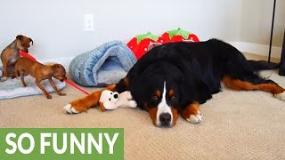 Download Dog outsmarts puppies in laziest way possible Video