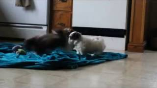 Download Shih Poo Puppies For Sale Video