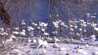 Download Trumpeter Swans at Monticello, MN Video