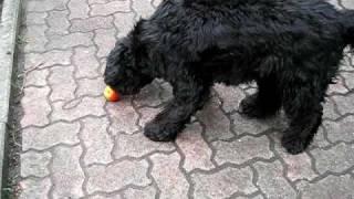 Download Portugiesischer Wasserhund mit Apfel Video