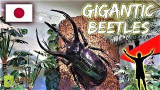 Download Finding Gigantic Beetles Video