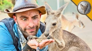 Download Kangaroo Feeding Time! Video
