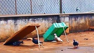 Download Cách bẫy chim đơn giản (simple bird trap) Video