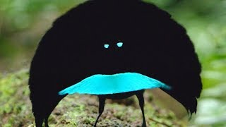 Download A new species? The Vogelkop Superb Bird-of-Paradise Video