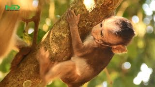 Download So Pity Poor Little Baby Monkey Fall Down From The Tree , Nature Daily Video