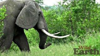 Download WildEarth - Sunrise Safari - January 27, 2020 - Part 2 Video