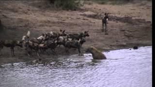 Download battle at Sabi Sand wild dogs VS hyena 2015 Video