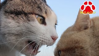 Download 猫の喧嘩 顔が近すぎる威嚇編 face is too scary! Cats Hiss Video