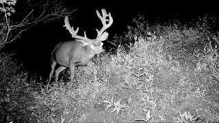 Download WOW!! HUGE Non-Typical Buck on our Trail Camera Video
