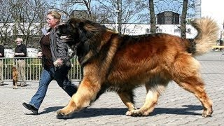 Download Giant dogs of the world part 3!!! Video