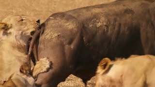 Download Epic Battle Between Lions and Bull - The Hunt - BBC Earth Video