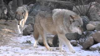 Download International Wolf Center - Spring Cleaning 1 April 2016 Video