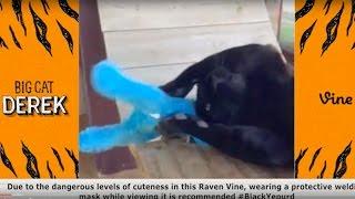 Download Cutest BigCatDerek Vines Compilation   Best Vines of All Time Video