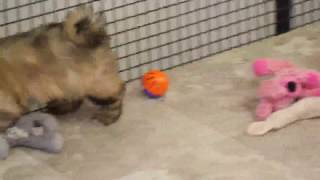 Download Lhasa Apso Puppies For Sale Video