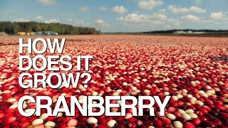 Download CRANBERRY | How Does It Grow? Video