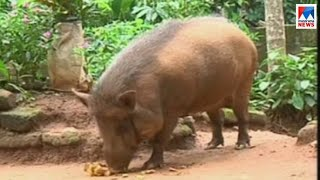Download കാട്ടുപന്നിയെ സ്നേഹിക്കുന്ന വീട്ടമ്മ ; കൗതുകക്കാഴ്ച   Wayanad pig Video