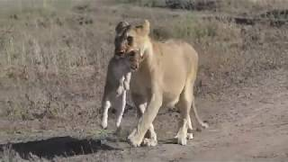 Download The Serengeti Tales V : A Serengeti Lioness Part II Video