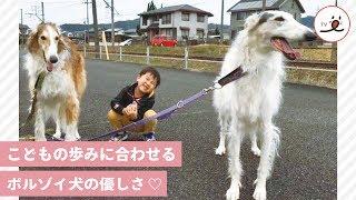 Download 【優しいボルゾイ犬】子供のスピードに合わせて、お散歩♡【 PECO TV 】 Video