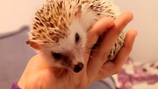 Download How To Tame a Hedgehog Video