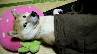 Download 柴犬小春 お芋さんを食べ、コタツで満足げに寝る柴犬 Video