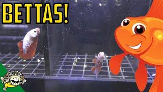 Download Betta Unboxing! Dumbo Bettas, Koi Bettas! Daily Dose 47 Video