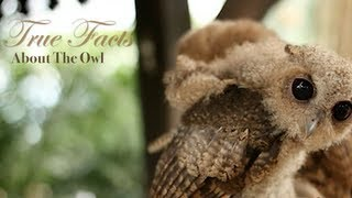 Download True Facts About The Owl Video