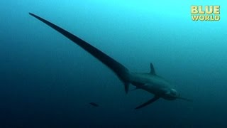 Download Philippines Thresher Sharks | JONATHAN BIRD'S BLUE WORLD Video