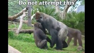 Download Gorilla vs Chimp? Ape Attacks Video