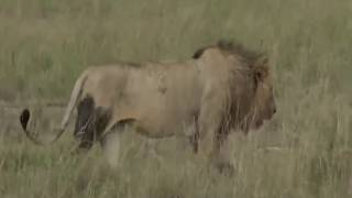 Download June 01, 2017- The Second and Third Male Lions with Brent wandered a few feet then flopped Video