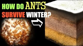 Download How Ants Survive the Winter Video