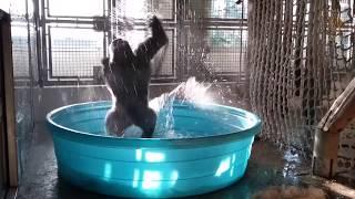 Download Breakdancing Gorilla Enjoys Pool Behind-the-Scenes Video