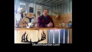Download european skull mounts dermestid beetles Video