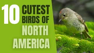 Download Top 10 Cutest Birds in North America Video