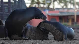 Download Galápagos, ejemplo único de equilibrio entre el hombre y la biosfera Video