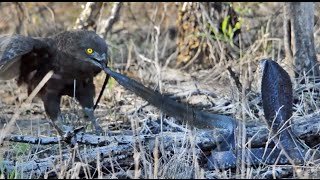 Download Cobra vs Brown Snake Eagle - Latest Wildlife Sightings Video