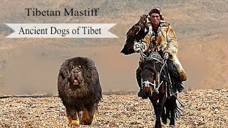 Download Tibetan Mastiff - Surprising Facts About this Ancient Breed Video