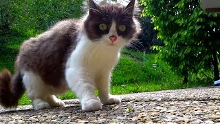 Download Shy & Scared stray kitten visits us in the mountains every day (UPDATE VIDEO) Video