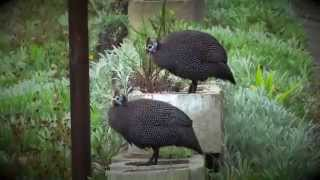 Download Urban Critters Guinea Fowls Video