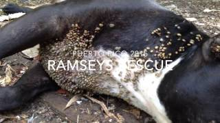 Download Ramsey's Rescue in Puerto Rico 2015 Video