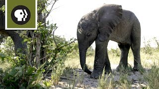 Download Orphaned Baby Elephant Struggles to Survive Video