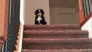 Download Alli the bernese puppy defeating her stairs! Video