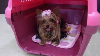 Download 犬の幼稚園 花ちゃんとトレーニング Video