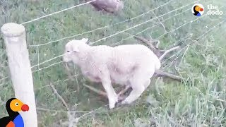 Download Motorcyclist Rescues Sheep Stuck in Fence | The Dodo Video