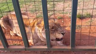 Download Furious and hungry lions get their meet. Incredible growl! Video