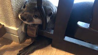 Download カワウソさくら 出かける時の一幕。カワウソの目に涙? Otter when owner goes out Video