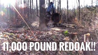 Download 11,000 pound Redoak cut down by a Tigercat! Video