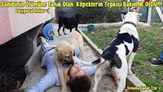 Download Sahibinin Ölümüne Tanık Olan Kangal,Rottweiler Amstaff Cinsi Köpeklerin Tepkisi Bakın Ne Oldu !!! Video