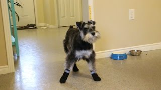 Download Puppy Tries On Booties For Dogs For The First Time Video