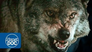 Download Wild Wolves Hunting | HD Documentary Video